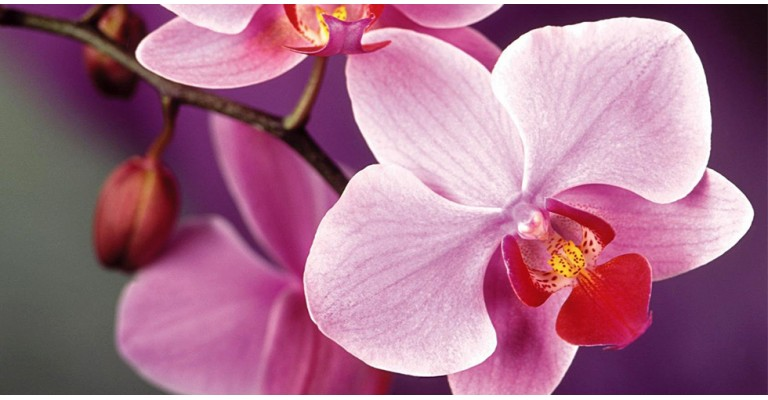 Орхидея - королева среди цветов