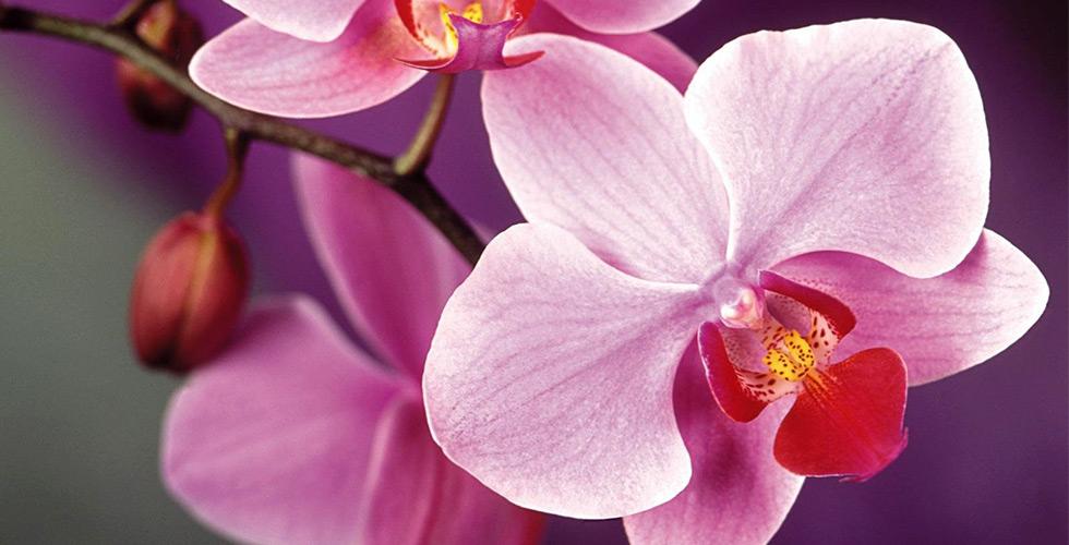 Орхідея - королева серед квітів